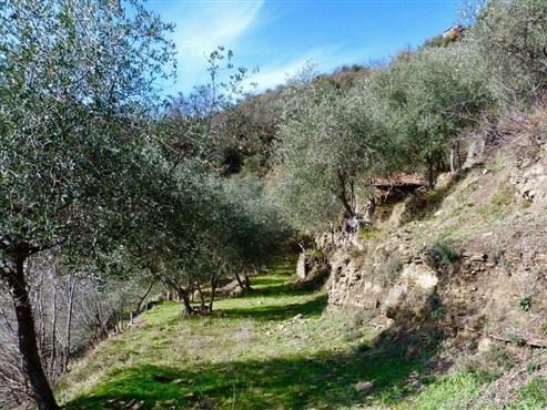 ROMANTISCHER OLIVENHAIN MIT RUSTICO UND NEUBAUPOTENTIAL IN LIGURIEN ( Italien)