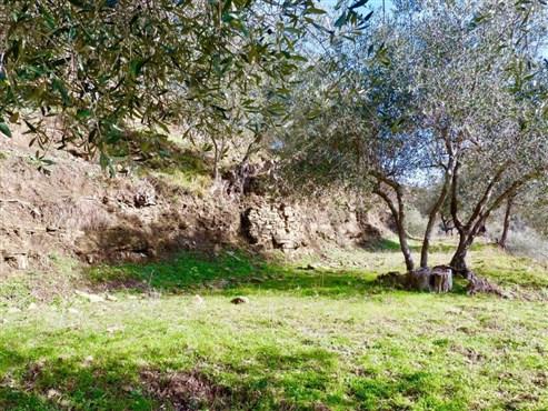 OLIVERAIE  AVEC MAISON RUSTIQUE  EN LIGURIE (Italie)