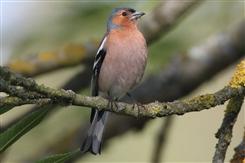 Ostbelgien - AVES-Ostkantone: Vögel an Bach und Waldrand