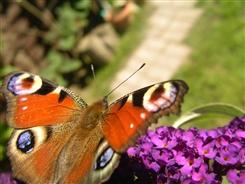 Ostbelgien - Schmetterlingszählaktion: Rate mal wer im GArten flattert.
